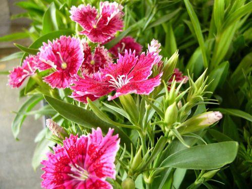 Однорічники для літнього цвітіння