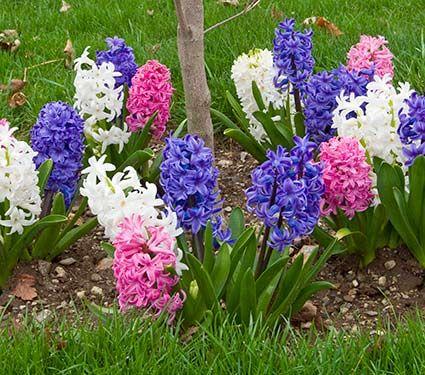 Коли викопувати і як зберігати цибулини квітів: тюльпанів, гіацинтів, нарцисів