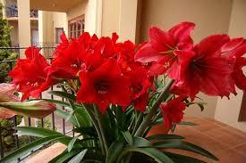 Кімнатні рослини, які цвітуть восени і взимку, потребують особливого догляду