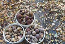 Озима посадка картоплі: основні правила та поради фахівців
