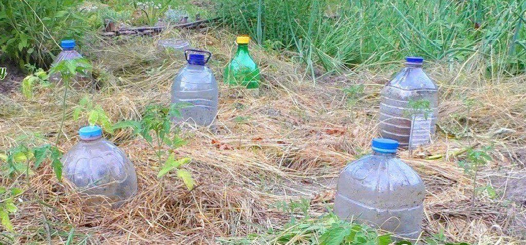 Помідори дадуть гарний урожай, завдяки методу висадки розсади у відкритий грунт з секретом зволоження