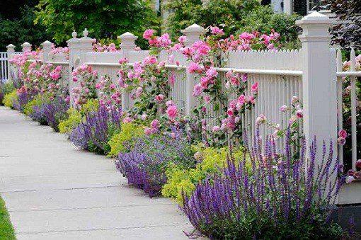 Лаванда, як прикраса саду і присадибної ділянки
