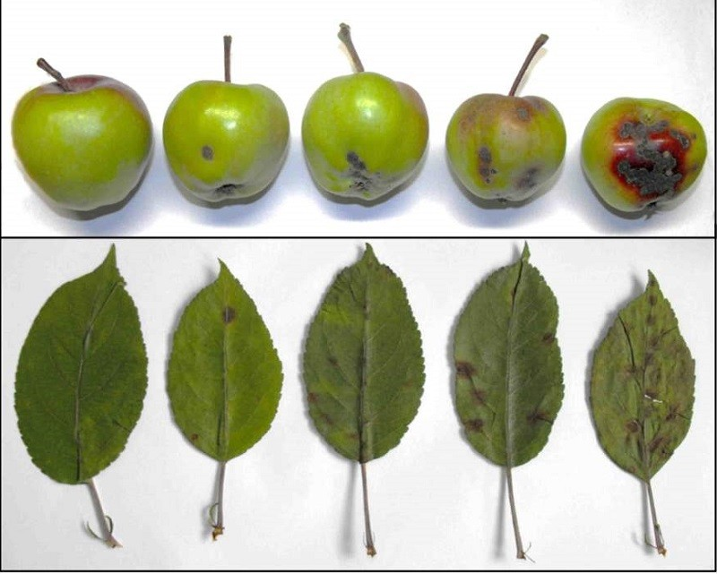 Парша яблунь: ознаки захворювання, засоби боротьби препаратами і народними методами