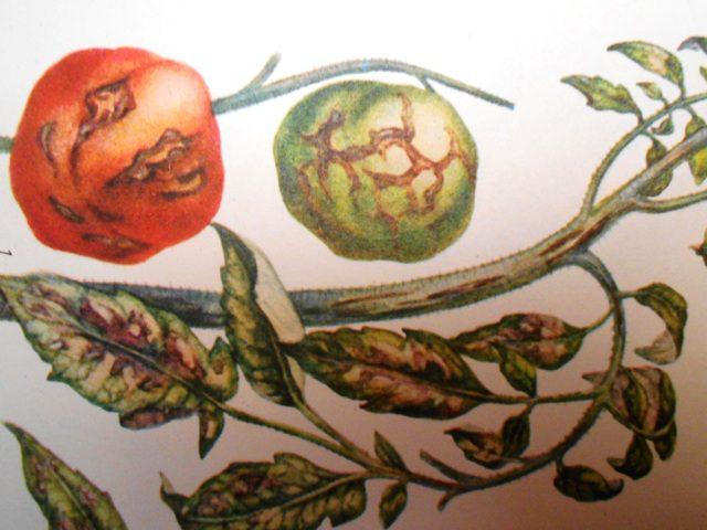ознаки захворювання томатів на стрик і як можна лікувати