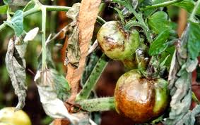 Фітофтороз на помідорах: ознаки, причини, профілактика та лікування томатів