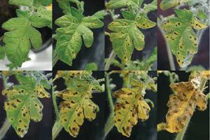 Хвороби розсади помідорів: ознаки захворювання томатів і як можна лікувати сіянці