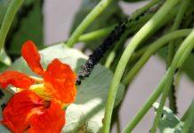 Хвороби кімнатних рослин через тлю (попелицю) і як вилікувати квіти завдяки народним рецептам