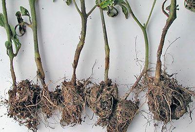"""""""Чорна ніжка"""" хвороба розсади помідорів"""
