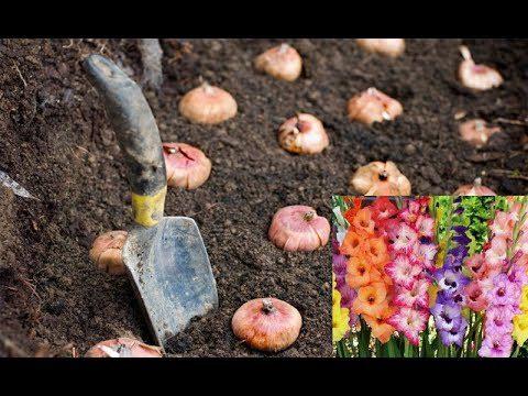 Як підготувати цибулини гладіолусів перед тим, як садити