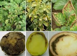 Картопля: шкідники і хвороби, як з ними боротися
