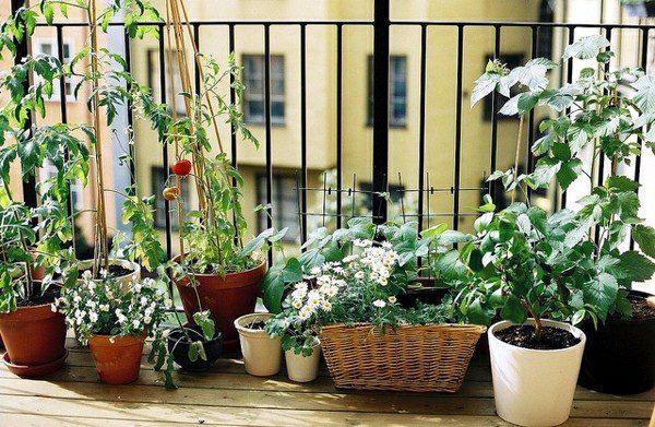Що вирощувати на балконі, щоб приносило користь і милувало око