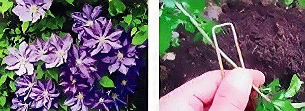 Як розмножувати клематиси восени: метод з відводами, діленням куща й метод прикопування