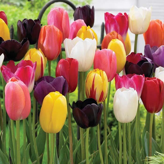 Осіння посадка тюльпанів: поради фахівців, на що звертати увагу
