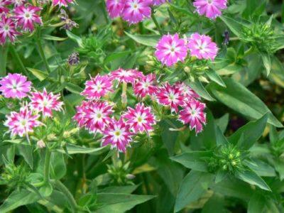 Озимі посадки однорічних квітів, які висівають восени: опис і фото