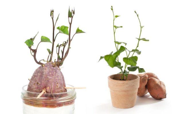 Як вирощувати бульби батат в Україні, щоб отримати «солодку» картоплю до свого столу