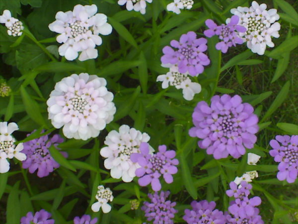 Висівання квітів на розсаду