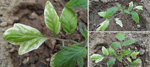 Ознаки захворювання томатів і як можна лікувати Септоріоз або білу плямистість