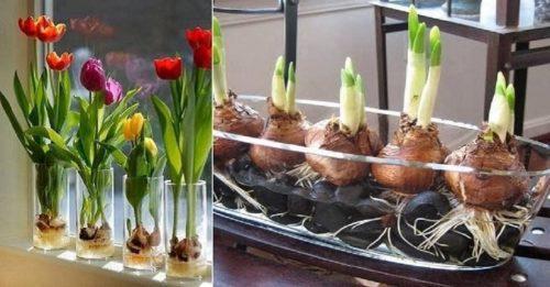 Вигонка (пророщування) цибулини тюльпанів перед посадкою