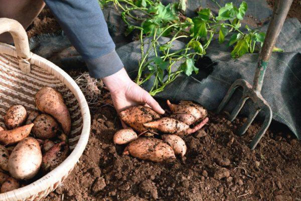 Як вирощувати батат в Україні