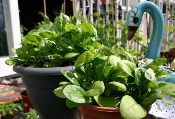 Як вирощувати і заморожувати шпинат