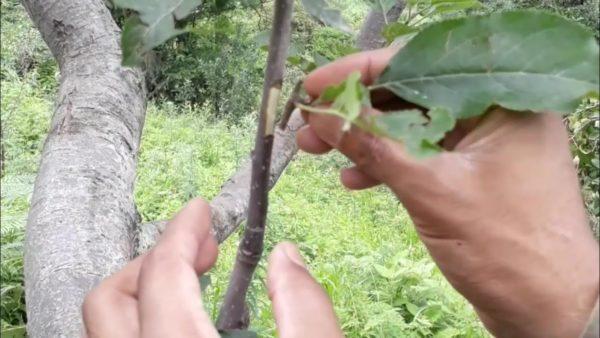 Як зробити окулірування (щеплення) плодових культур