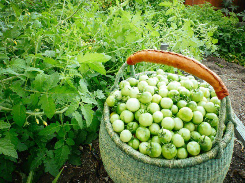 Зелені помідори по-грузинськи – рятуємо врожай і готуємо чудові зимові заготовки