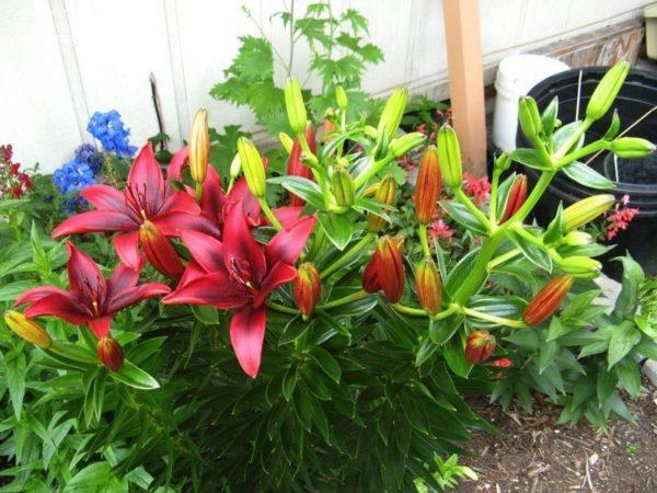 Як ділити і пересаджувати багаторічні квіти у серпні: іриси і лілії