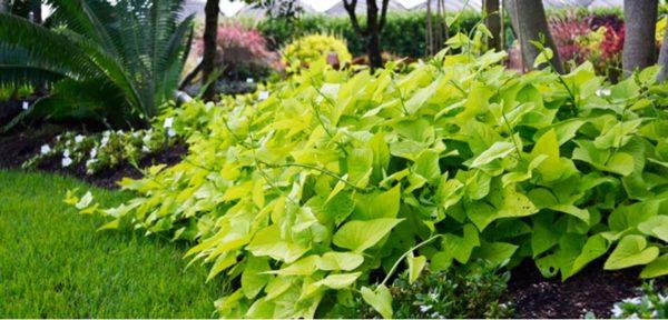 Батат: живцювання, посадка, вирощування, збір урожаю і зберігання бульби батату