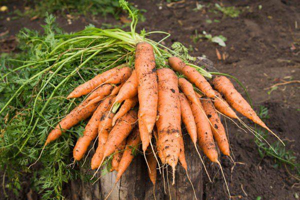 Чим підживлювати буряк і моркву у червні: добрива і графік їх внесення