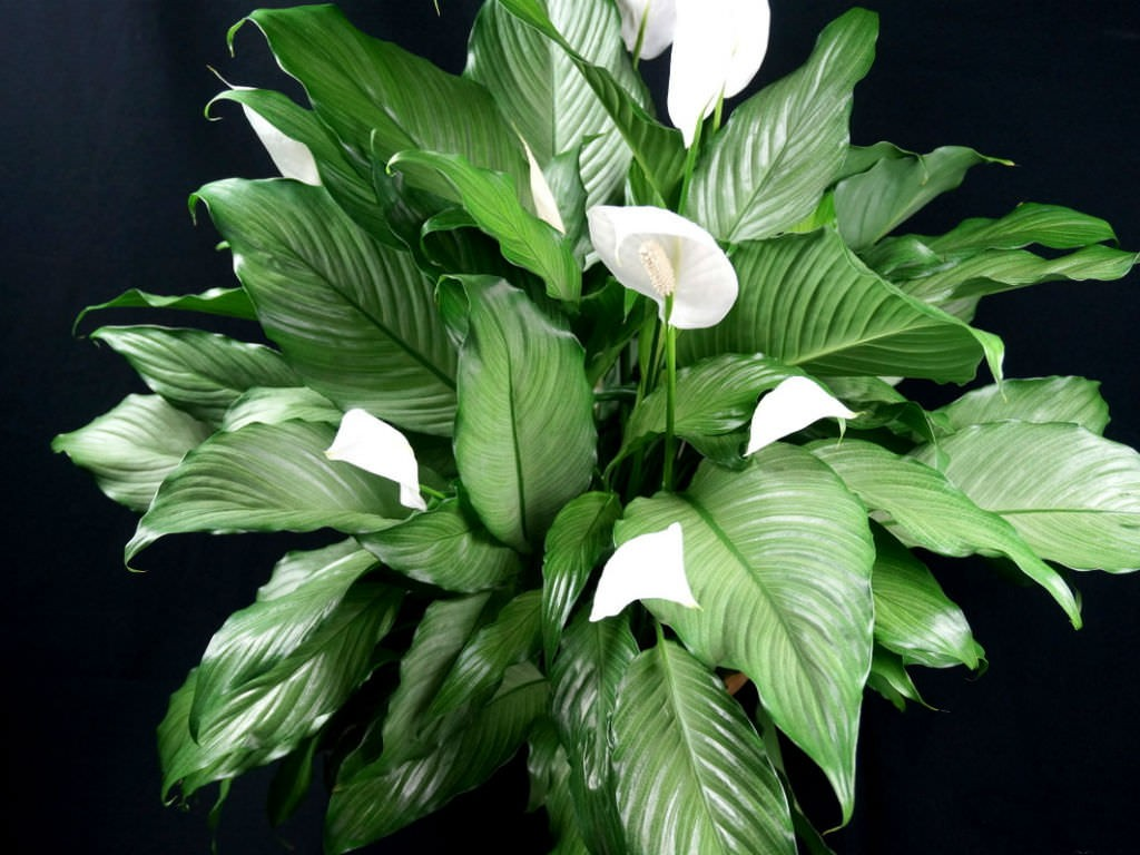 Кімнатні рослини очищають повітря у домівці