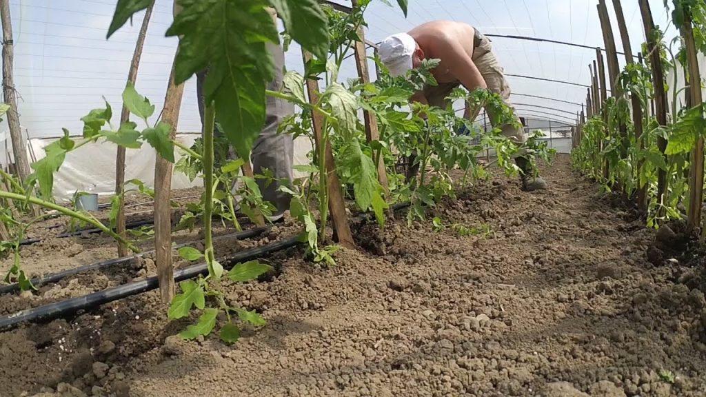 Розсада помідор за посівним календарем на 2019 рік