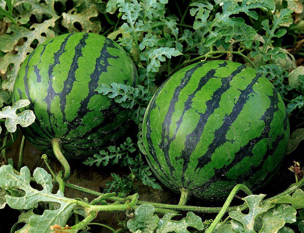 Як садити овочі на городі