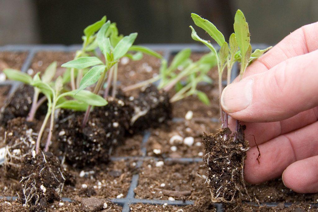 Розсада помідорів, як вирощувати та доглядати