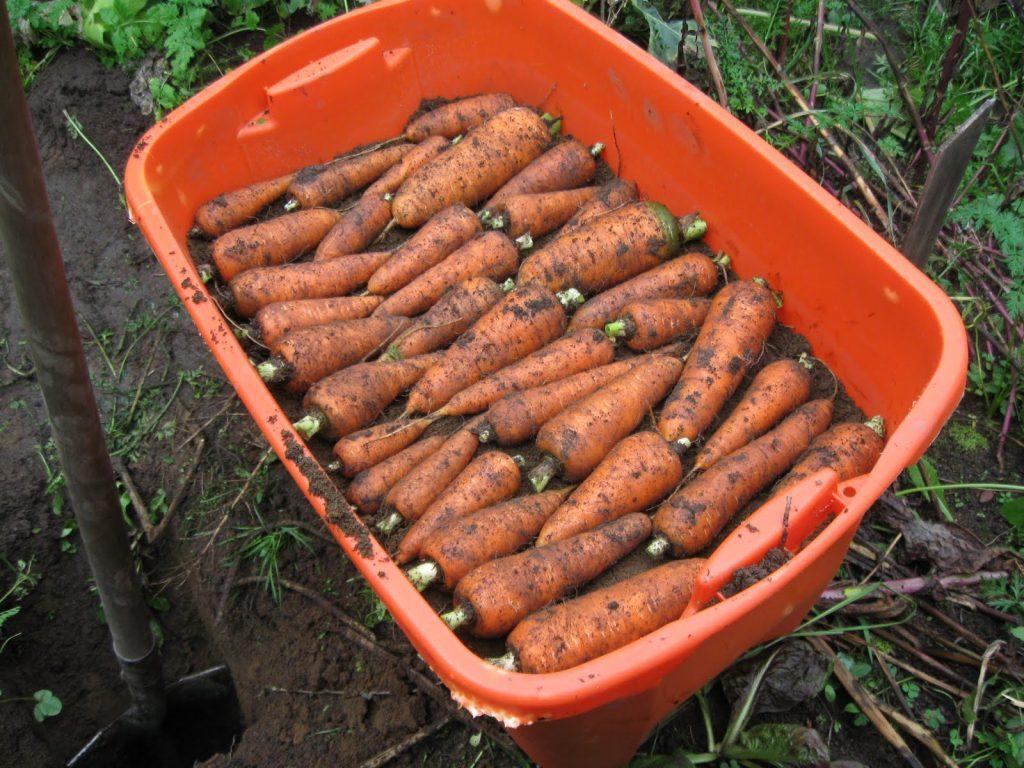 Посівний календар для моркви, як виростити гарний урожай