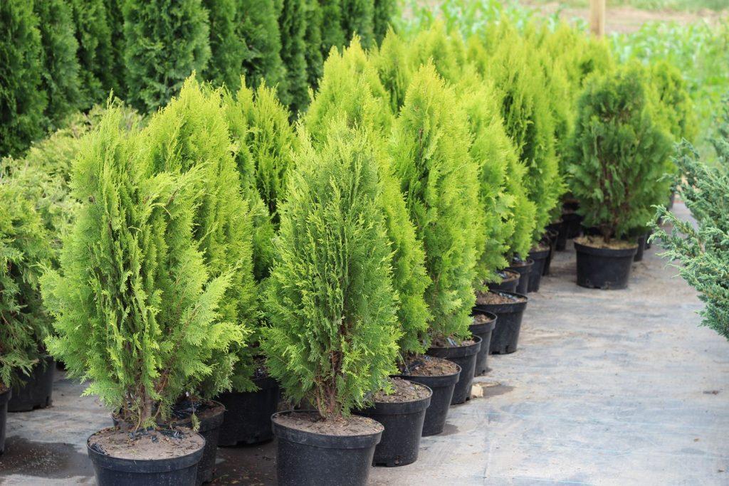 Підходящі рослини для кладовища, щоб оформити могилу