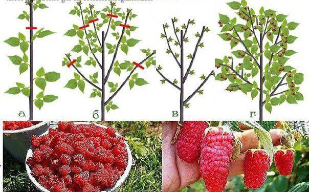 Як правильно обрізати малину навесні, влітку та восени, поради садівників