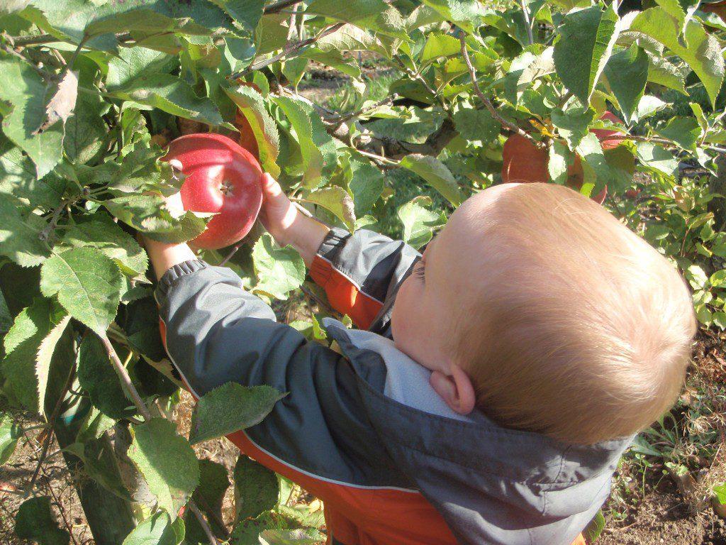 Як і чим підживлювати рослини у серпні і на початку вересня в саду: ягоди, ягідні кущі і плодові дерева