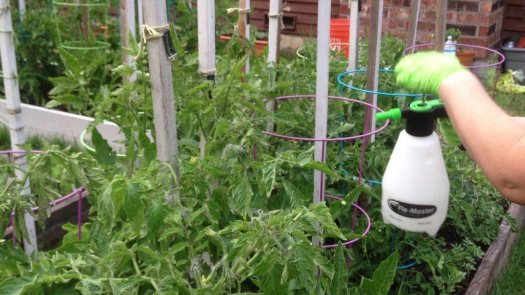 Борна кислота для підживлення рослин на городі, як і коли виконувати