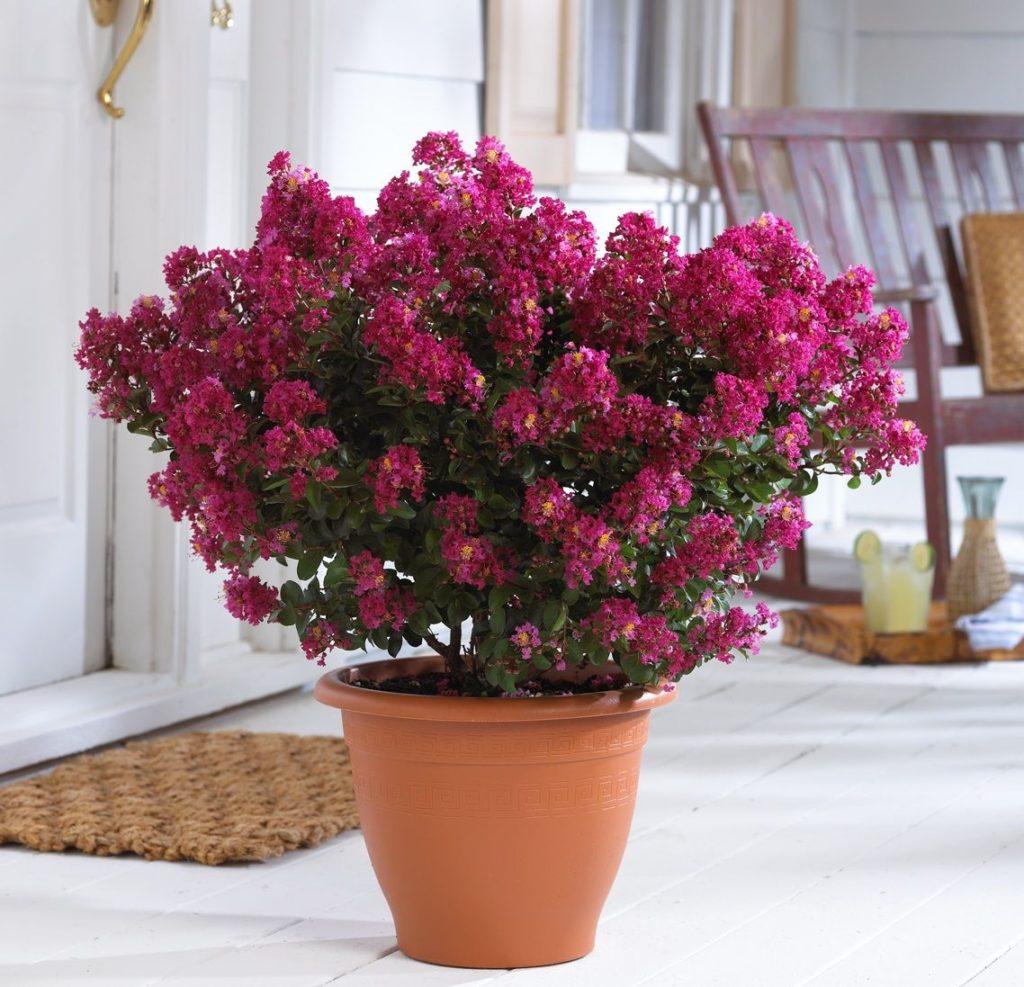 Кімнатні рослини для жіночого щастя: мирт