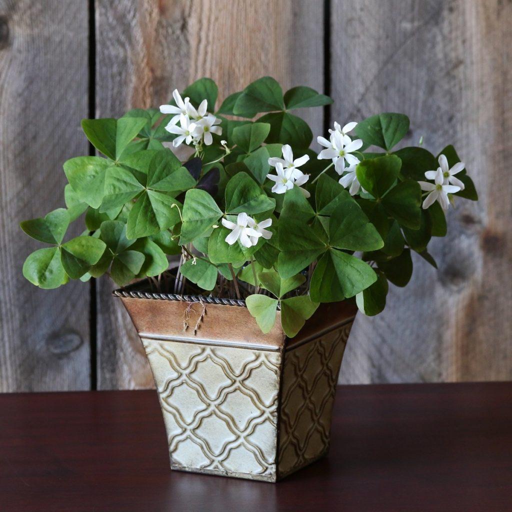 Кімнатні рослини для жіночого щастя