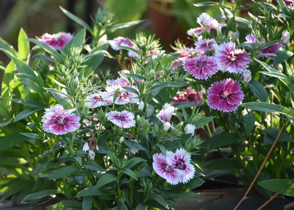 Які квіти висаджувати в серпні