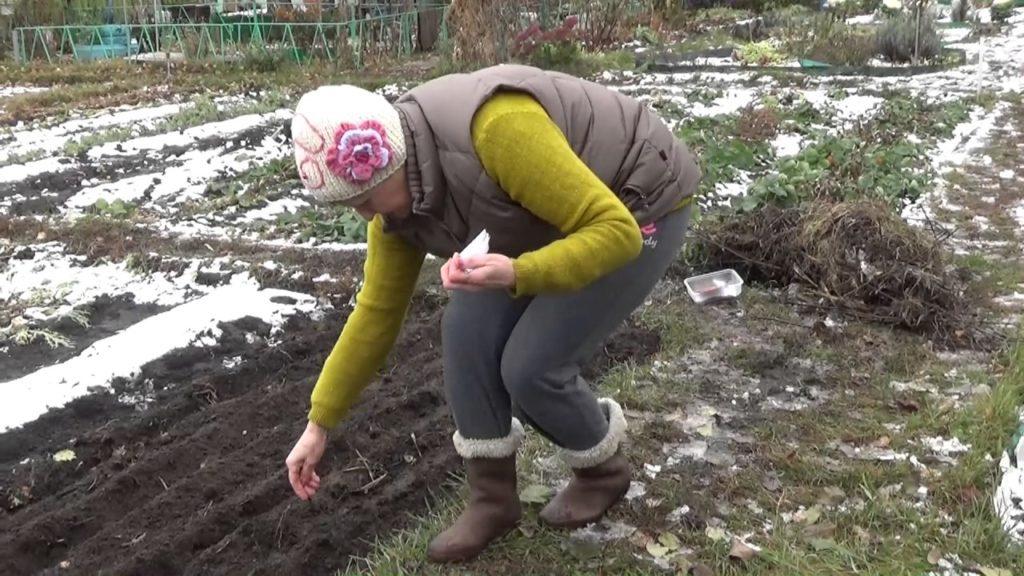 Посадка буряка під зиму: коли і як сіяти озимий буряк восени