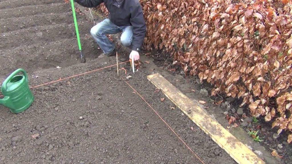 Коли сіяти моркву восени і основні правила посадки під зиму