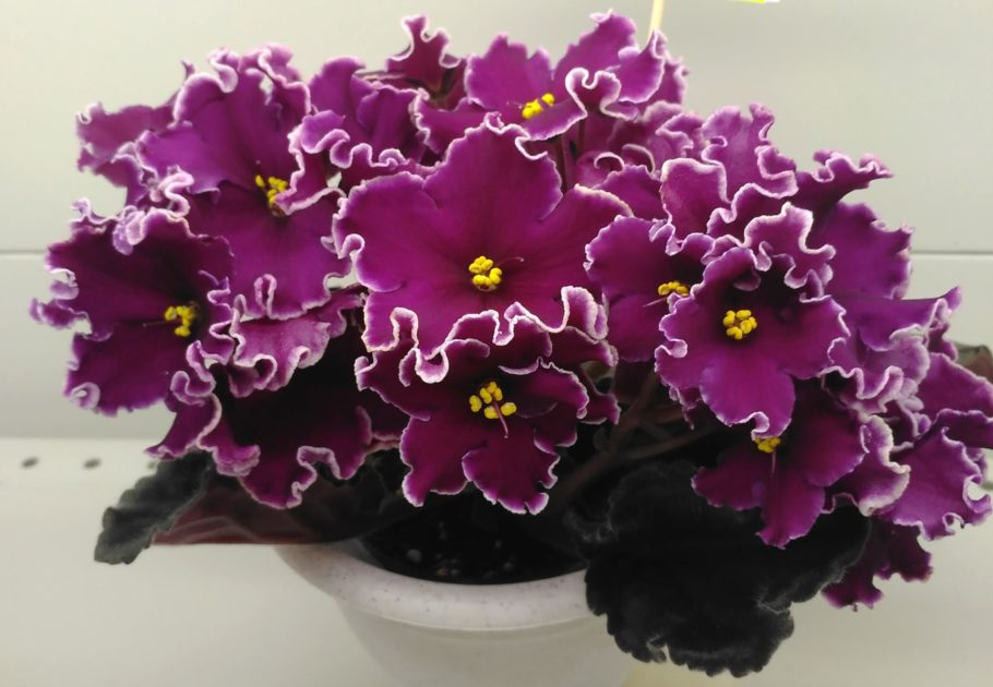 Фіалки: правила догляду для рясного цвітіння