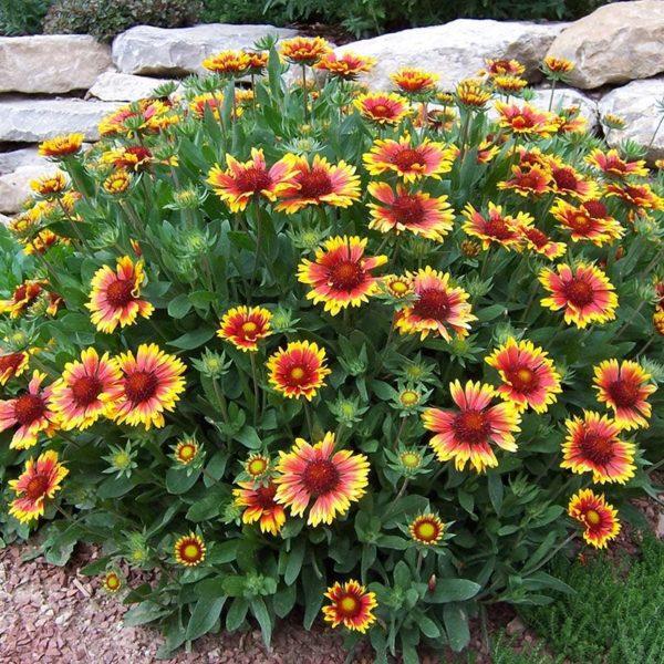 Багатолітні квіти рослини для присадибної ділянки