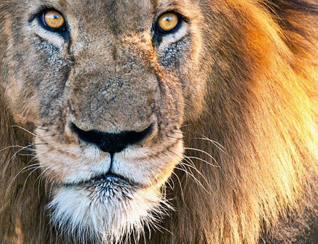 Тварина-покровитель по знаку Зодіаку для Скорпіона - Лев