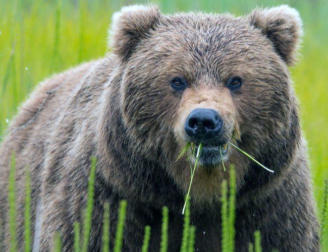 Тотемна тварина для Водолія - ведмідь