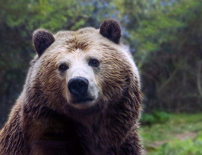 Тварина покровитель для Діви - ведмідь