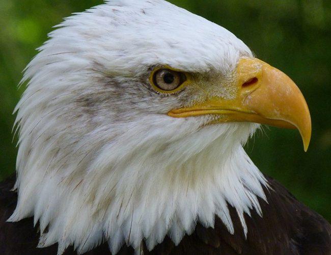 Орел являється тотемним покровителем для Діви