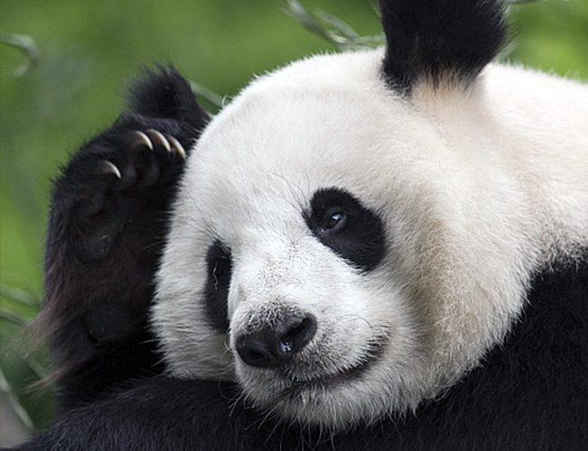 Тоетмна тварина по знаку для Терезів - Панда